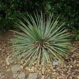 Yucca à feuilles glauques