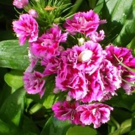Oeillet de poète à fleur rose