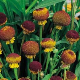 Helenium puberleum 'Lollipop' (Hélénie d'automne)