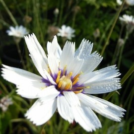Catananche caerulea ''Alba' (Cupidone blanche)