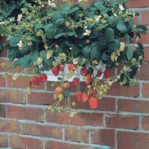 fraise des bois 39 temptation 39 fraisier pour suspension. Black Bedroom Furniture Sets. Home Design Ideas