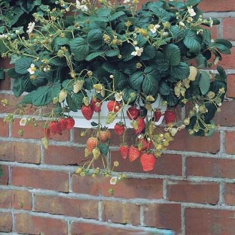 graines fraise des bois 39 temptation 39 fraisier pour suspension. Black Bedroom Furniture Sets. Home Design Ideas