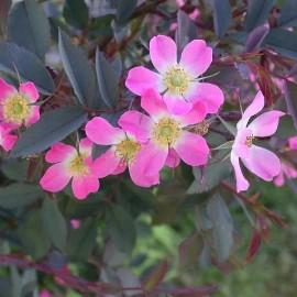 Rosa rubrifolia (Rosier sauvage)