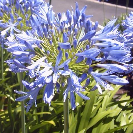 Agapanthus africanus Blue Umbrella (Agapanthe)