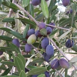 Olea europaea (Olivier méditérranéen)