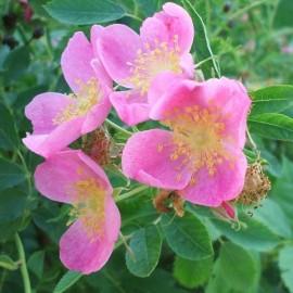 Rosa arkansana (Rosier de l'Arkansas)