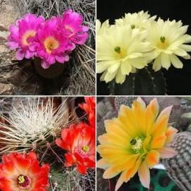 Echinocereus MIX (Cactus)