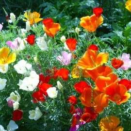 Pavot de Californie MIX (Eschscholzia california)