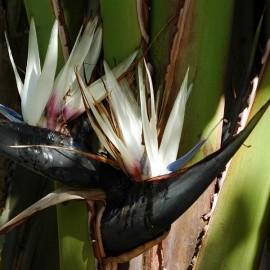 Strelitzia nicolai (Oiseau de Paradis blanc)