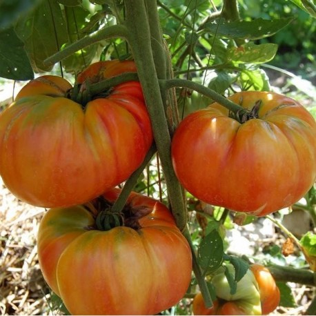 Graines Tomate ancienne 'Old German'