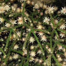 Rhipsalis ianthothele (Cactus)