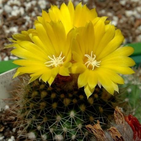 Graines Parodia formosa (Cactus)