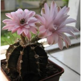 Graines Gymnocalycium friedrichii (Cactus)