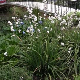 Libertia grandiflora (Iris de Nouvelle Zélande)