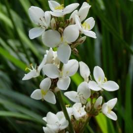 Libertia grandiflora (Iris de Nouvelle-Zélande)