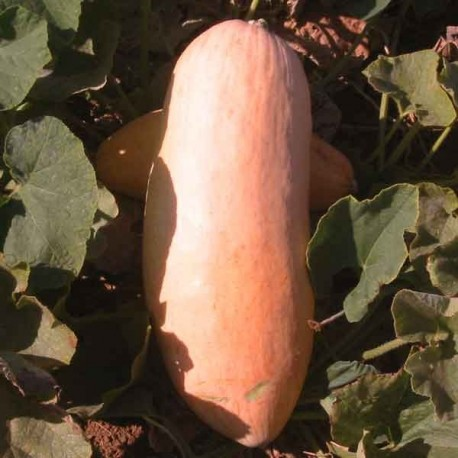 Graines Courge 'Pink Jumbo Banana'