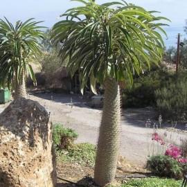 Graines de palmiers for Cactus exterieur resistant au froid