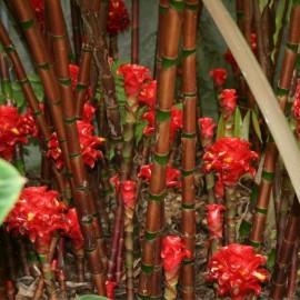 Graines Tapeinochilos ananassae (Rose de Malaisie)