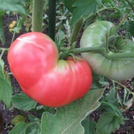 Tomate German Johnson pink (tomate ancienne)
