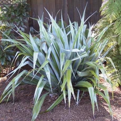 Graines Astelia chathamica (Astélia de l'île Chatham)