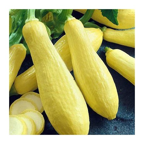 Graines Courgette 'Prolific Straightneck'