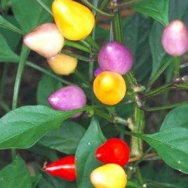 Piment Bolivian rainbow (piment d'ornement)