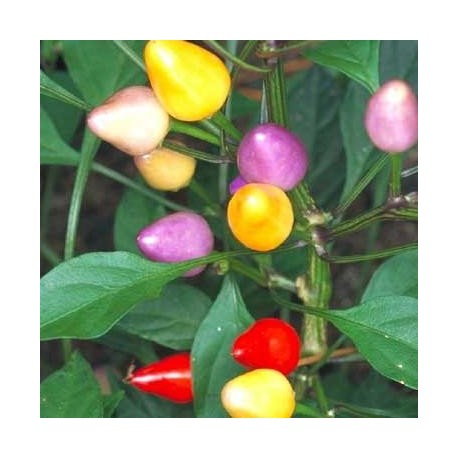 Graines Piment 'Bolivian rainbow' (piment fort)