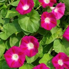 Ipomea tricolor (Ipomée rose)