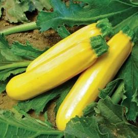 Courgette Zucchini (courgette jaune)