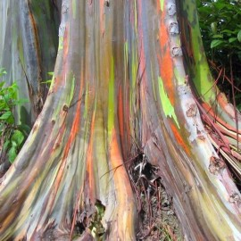 Eucalyptus deglupta (Eucalyptus Arc en ciel)