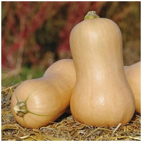 Graines Courge 'Butternut'