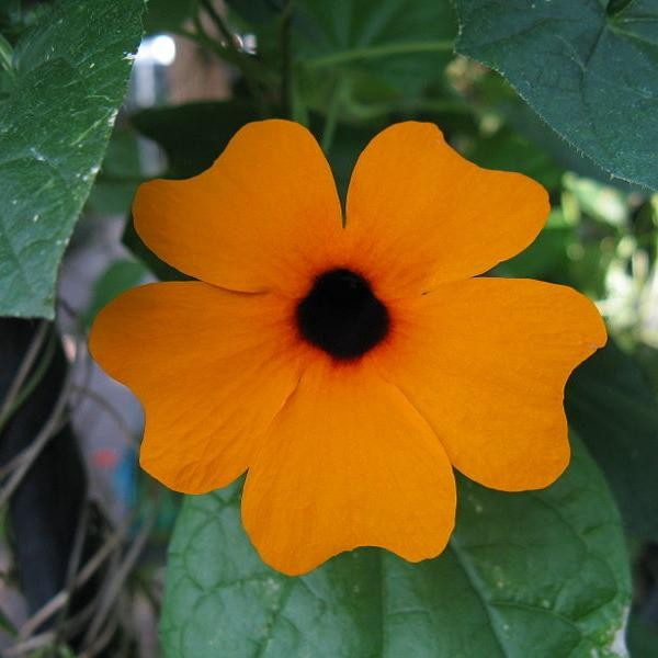 10//200 Graines Suzanne Yeux Noirs Orange Thunbergia Alata Fleur Vivace Grimpante